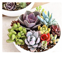 Assorted Rare Succulents Plants Seeds